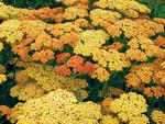"""Achillea """"Terracotta"""" from the Earl May catalogue."""