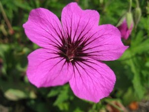 Geranium 'Patricia', photo by Simon Ross