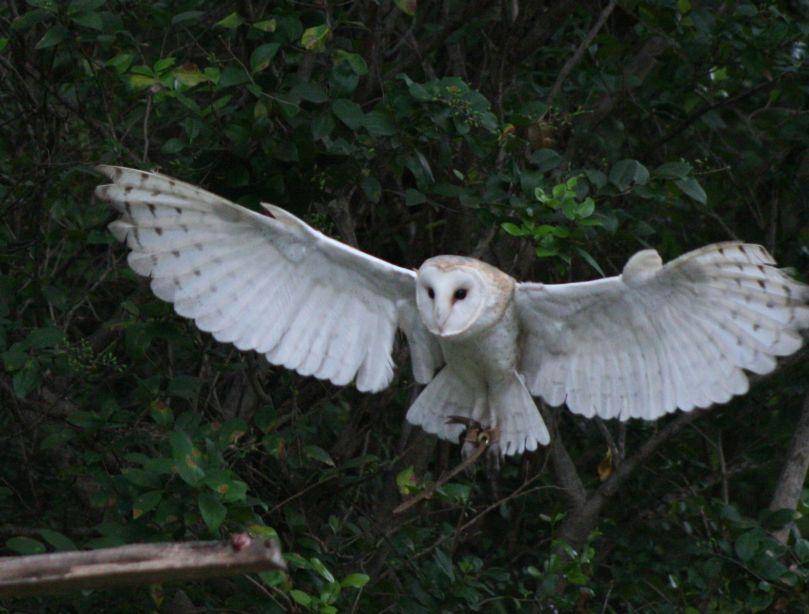 barn-owl-wallpaper-5