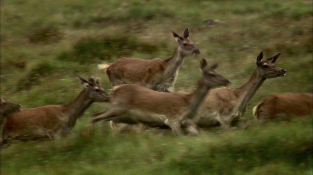 443791417-deer-herd-escaping-running-austria