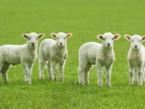 lambsInPasture-300x225