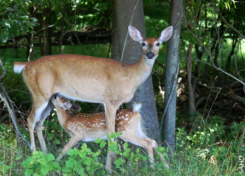 Nursing Deer, by Hrisi.