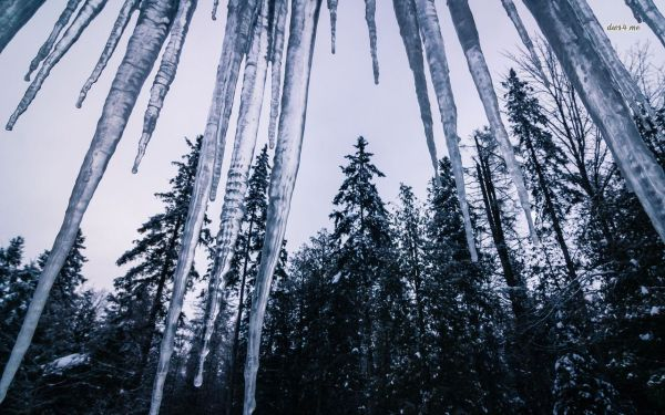 23318-icicles-and-tall-firs-1280x800-nature-wallpaper