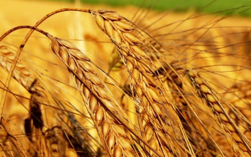 field_ears_agriculture_crop_grain_42484_1280x800