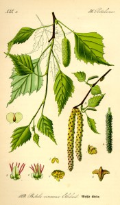 Illustration_Betula_pendula0