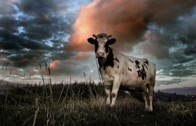 cow of battle