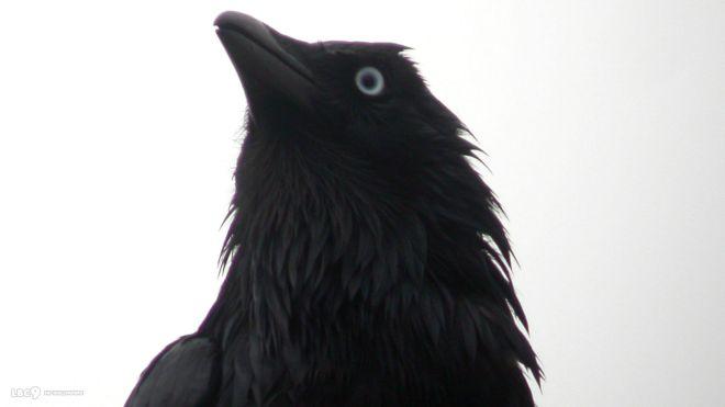 little-raven-close-up