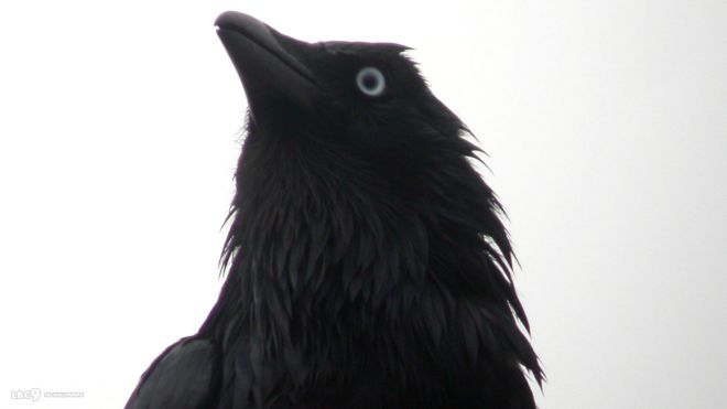 little-raven-close-up